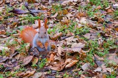 O esquilo vermelho está em suas patas e come sementes de girassol imagens de stock royalty free