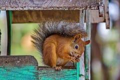 O esquilo vermelho euro-asiático rói porcas O Sciurus ordinário do esquilo vulgar é o gênero dos roedores da família do esquilo imagem de stock royalty free