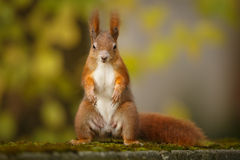 O esquilo vermelho, suporte e entrega! Imagens de Stock Royalty Free
