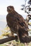 O estepe Eagle fotografia de stock