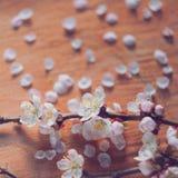 O estilo do vintage da cereja floresce o ramo no fundo rachado de madeira Imagens de Stock Royalty Free