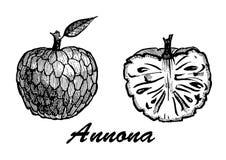 O estilo tirado mão Annonas do esboço ajustou-se no fundo branco Alimento detalhado do vegetariano Coleção dos elementos para o p Fotos de Stock
