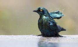 O estorninho lustroso do cabo banha-se na associação de água pouco profunda em um dia quente Fotografia de Stock Royalty Free