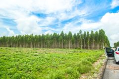 O eucalipto é uma planta constante 2-3 anos cortarão vendas para gerar a renda para os aldeões Imagens de Stock Royalty Free