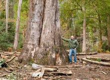 O eucalipto o maior em Galiza, Espanha Imagens de Stock Royalty Free