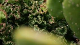 O eufórbio crested a planta de deserto sempre-verde cultivada como o ornamental no jardim Fundo das plantas carnudas, teste padrã vídeos de arquivo