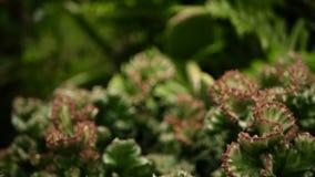 O eufórbio crested a planta de deserto sempre-verde cultivada como o ornamental no jardim Fundo das plantas carnudas, teste padrã filme