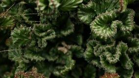 O eufórbio crested a planta de deserto sempre-verde cultivada como o ornamental no jardim Fundo das plantas carnudas, teste padrã video estoque