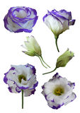 O Eustoma floresce (Lisianthus) foto de stock