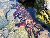 O exoskeleton do caranguejo de costa derramou em uma associação da rocha imagem de stock royalty free