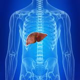 O fígado humano ilustração royalty free