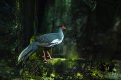 O faisão Branco-de cabelo do norte é subespécie do faisão branco Este pássaro é endêmico a Vietname fotografia de stock