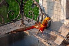 O faisão dourado é um pássaro exótico brilhante que vive em uma exploração agrícola para produzir imagens de stock royalty free
