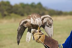 O falcão come a carne da galinha que senta-se no braço do homem Imagem de Stock Royalty Free