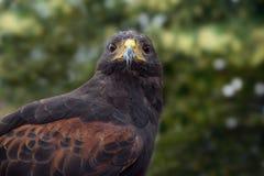 O falcão de Harris (unicinctus) de Parabuteo, retrato frontal do bi fotografia de stock