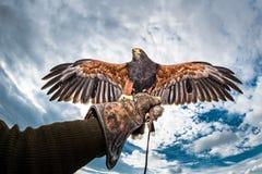 O falcão de Harris voa o falcoeiro estendido da luva foto de stock