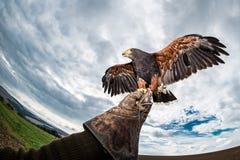 O falcão de Harris voa o falcoeiro estendido da luva fotografia de stock