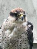 O falcão de Lanner tem seu olho às gotas em você fotografia de stock royalty free