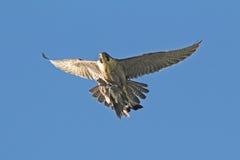 O falcão de peregrino leva a rapina do pombo torcaz a seu ninho imagens de stock royalty free