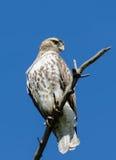 O falcão do tanoeiro juvenil Foto de Stock