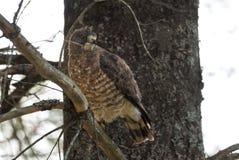 O falcão em um ramo de árvore, fluff da Vermelho-cauda levanta e plissados suas penas fotos de stock royalty free