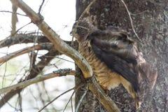 O falcão em um ramo de árvore, fluff da Vermelho-cauda levanta e plissados suas penas fotografia de stock