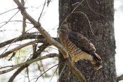 O falcão em um ramo de árvore, fluff da Vermelho-cauda levanta e plissados suas penas imagens de stock