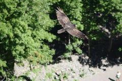 O falcão em voo Taughahook cai New York fotografia de stock royalty free
