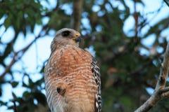 O falcão empoleirou-se sobre na árvore nos marismas foto de stock royalty free