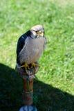 O falcão senta a observação fotografia de stock