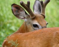 O fanfarrão dos cervos olha para trás Fotos de Stock Royalty Free