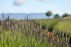 O fardo verde de alfazema Imagens de Stock Royalty Free