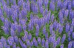 O farinacea azul do salvia de Salvia floresce a floresc?ncia no jardim Flores prudentes violetas Fundo de wildflowers lilás fotografia de stock