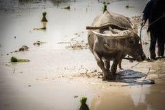 O fazendeiro é búfalo do uso que ara o campo do arroz Imagem de Stock Royalty Free