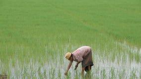 O fazendeiro é uma mulher veste um chapéu que mantém o arroz plantado no campo de almofada com os pantanais no parque de BangYai, filme
