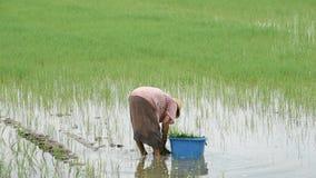 O fazendeiro é uma mulher veste um chapéu que mantém o arroz plantado no campo de almofada com os pantanais no parque de BangYai, vídeos de arquivo