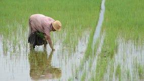 O fazendeiro é uma mulher veste um chapéu que mantém o arroz plantado no campo de almofada com os pantanais no parque de BangYai, video estoque