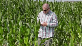 O fazendeiro anda com o campo de milho e da utilização do PC da tabuleta video estoque