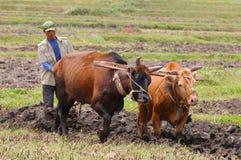O fazendeiro chinês trabalha em um campo do arroz Fotografia de Stock Royalty Free