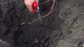 O fazendeiro corta a raiz da árvore antes de plantar vídeos de arquivo