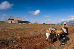O fazendeiro cubano ara seu campo com dois bois o 22 de março em Vinales, Cuba. Foto de Stock