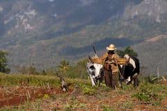 O fazendeiro cubano ara seu campo com dois bois o 22 de março em Vinales, Cuba. Fotos de Stock Royalty Free