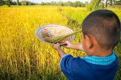 O fazendeiro da criança está colhendo o arroz fotografia de stock