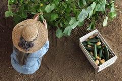 O fazendeiro da mulher que trabalha no jardim vegetal, recolhe um pepino dentro imagens de stock royalty free