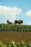 O fazendeiro de Amish com os cavalos no campo de cigarro imagem de stock