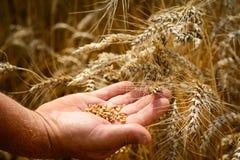 O fazendeiro em um campo de trigo verifica a maturidade da grão do trigo O conceito do cultivo fotografia de stock