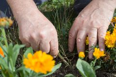 O fazendeiro escava a erva daninha maliciosa dos forcados no campo imagens de stock