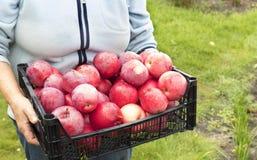 O fazendeiro está guardando uma colheita de maçãs maduras vermelhas imagem de stock