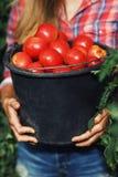 O fazendeiro está mantendo uma cubeta completa de tomates maduros de seu jardim imagem de stock royalty free