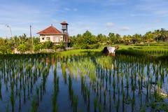 O fazendeiro está plantando o arroz nos campos do arroz em Ubud, Bali Fotografia de Stock